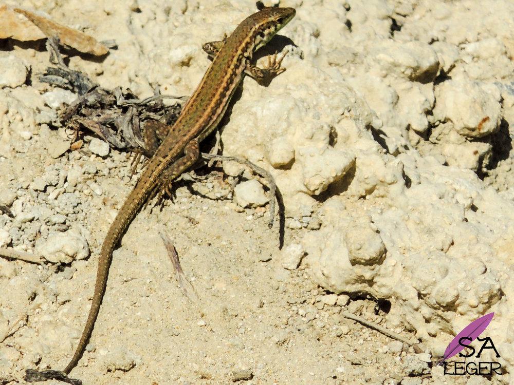 Maltese Wall Lizard ( Podarcis filfolensis ) female - Malta