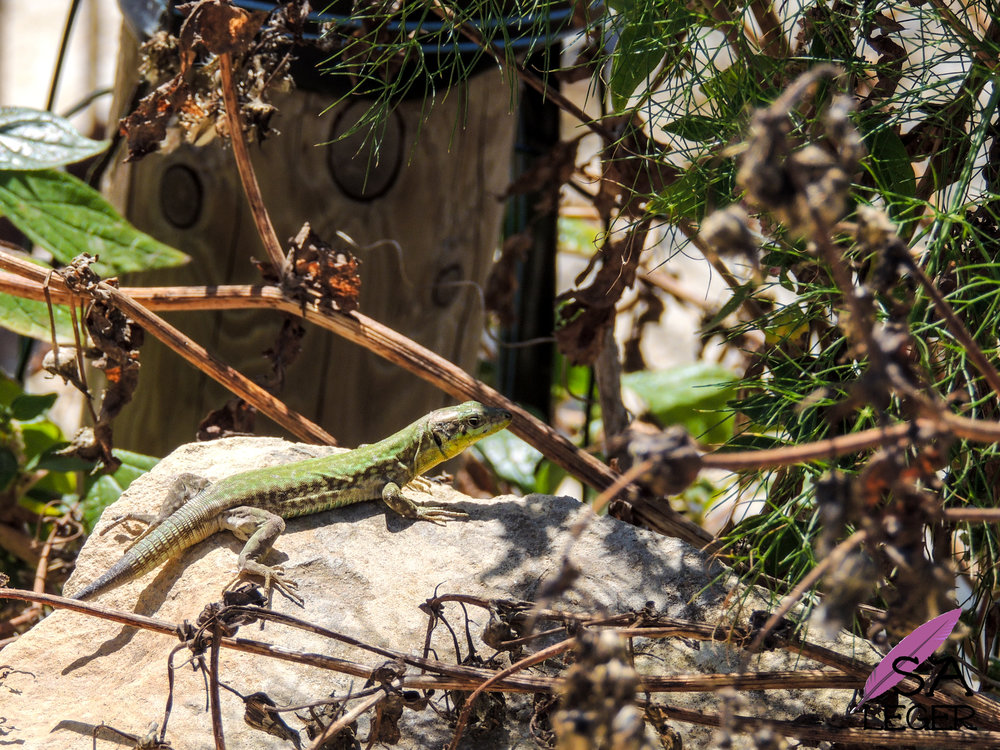 Maltese Wall Lizard ( Podarcis filfolensis ) male - Malta