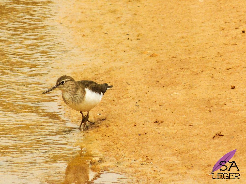 Common Sandpiper ( Actitis hypoleucos ) -Għadira Natural Reserve, Malta