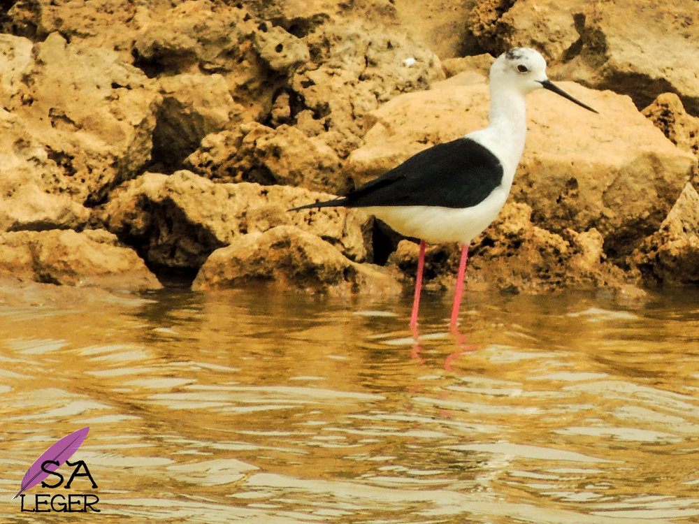 Black-winged Stilt ( Himantopus himantopus ) female - Għadira Natural Reserve, Malta