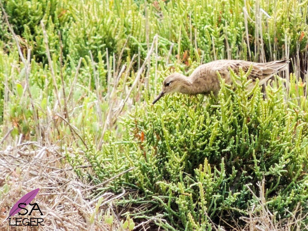 Ruff ( Calidris   pugnax ) -Għadira Natural Reserve, Malta