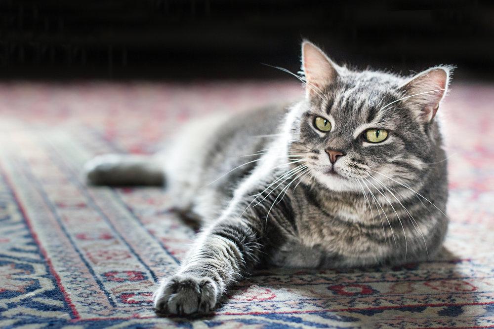 fotografo animali ritratto gatto