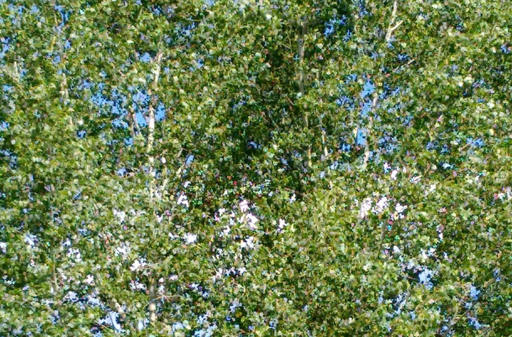 Many voices of the poplar…