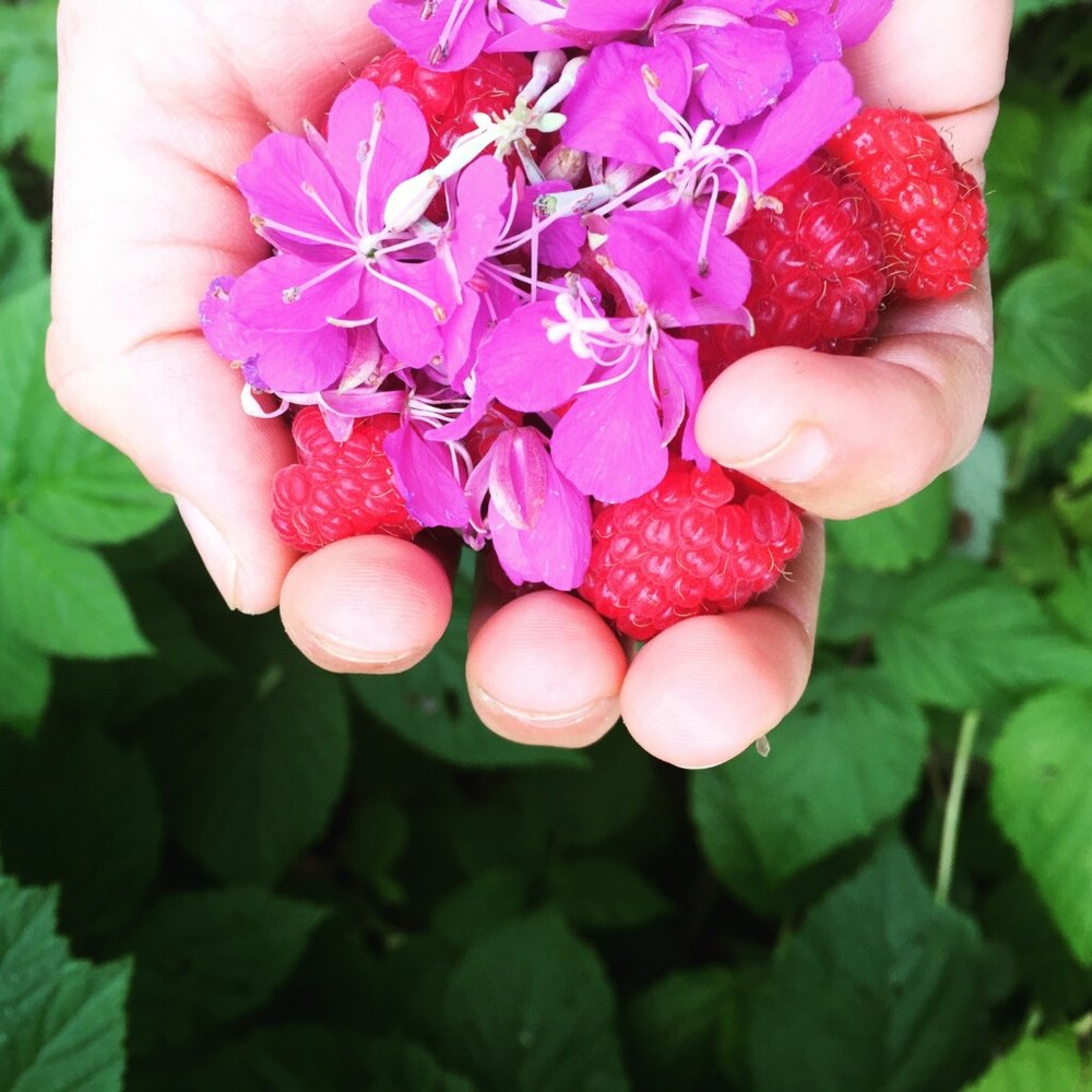 wild-foraged edible plants, raspberries and fireweed, in Anchorage, Alaska summer 2016