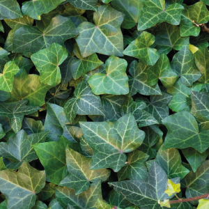 - Hedera (various ivy species)