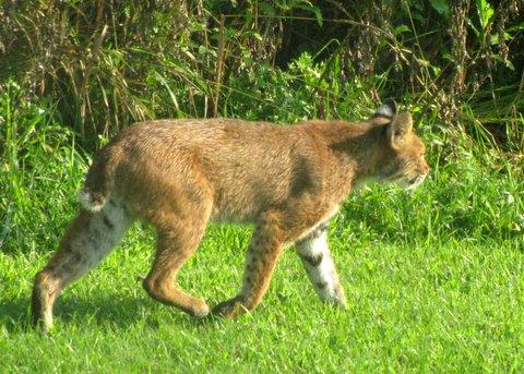 WL Bobcat.JPG