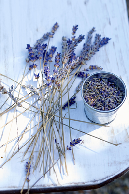 lavender picking