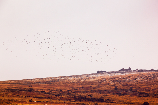 A flock of Lapwings above dartmoor in winter with light patches of snow on the ground