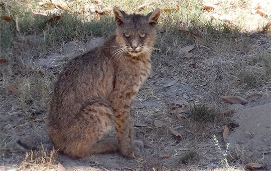 Mange has surfaced in bobcats roaming Santa Cruz County