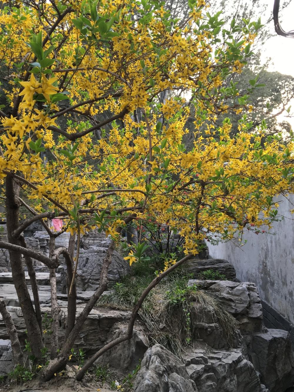 Beijing Tree