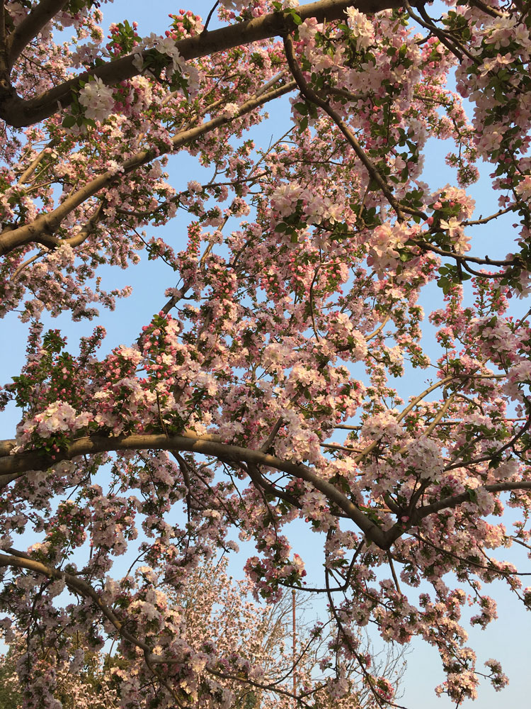 cherry-blossoms-beijing-karen-silve.jpg