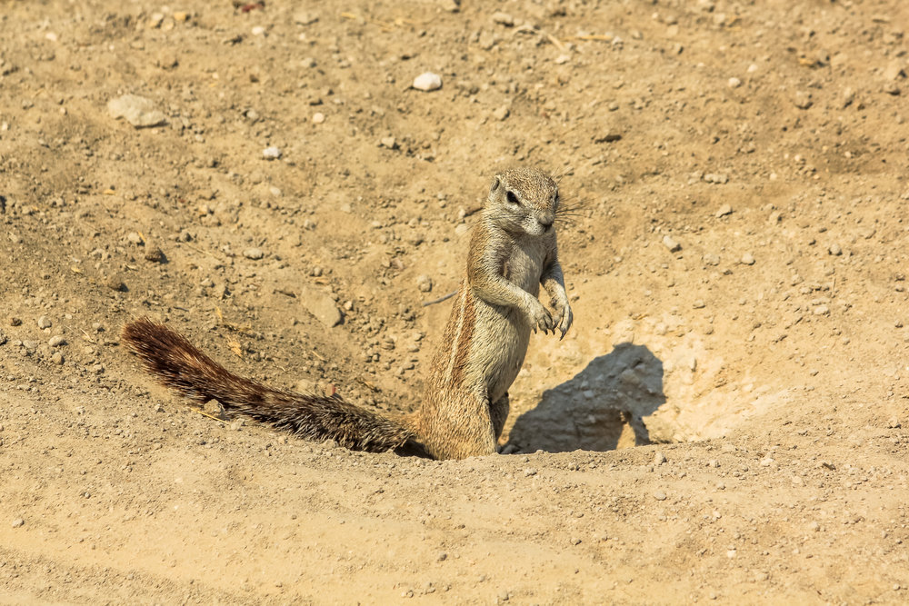 Rodents in the desert are often nocturnal to avoid the hot sun.