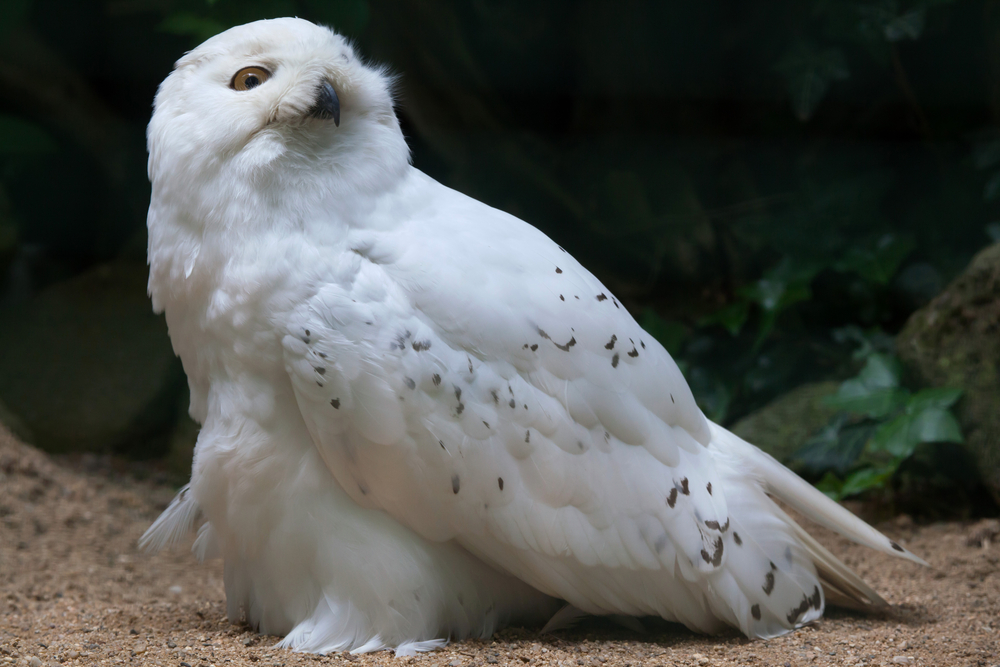 This snowy owl has adapted to live in the tundra. It has white feathers because white blends in with the snow.
