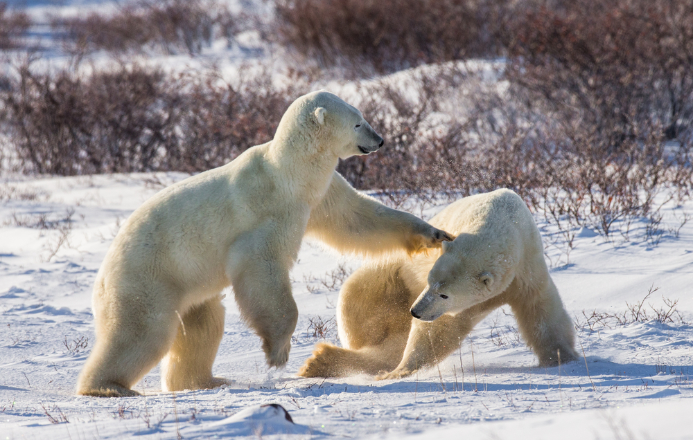 These polar bears and playing in the snow on the tundra.