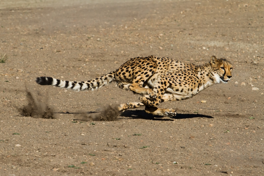 This cheetah, the fastest land animal on Earth,  runs across the savanna. Savanna is what we call grasslands in Africa. It is important for animals living in the grasslands to be fast runners because there is nowhere to hide.