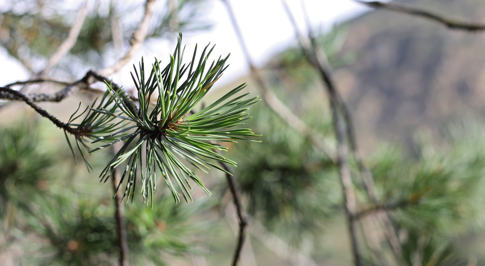 Evergreen trees have needles instead of leaves.