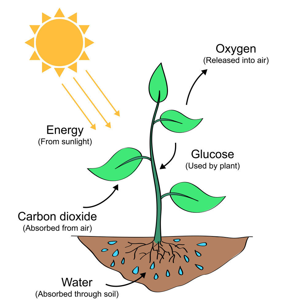 Starch production in photosynthesis Cellular Respiration and Photosynthesis - t