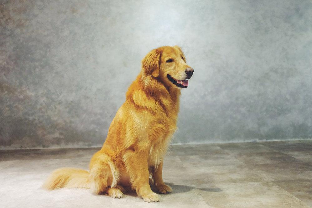 黃金獵犬攝影棚