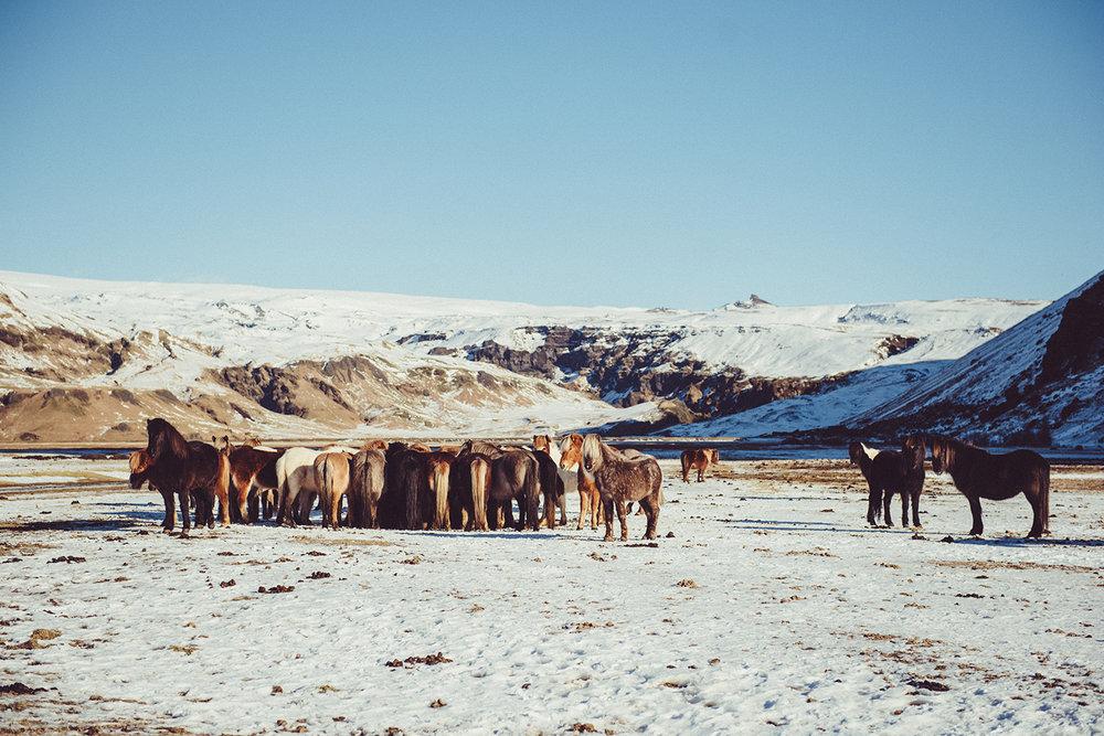 冰島馬!超級可愛,尺寸很迷你。 因為冰島的物種並沒有與外來品種混血,所以歷今冰島馬的樣子大概都是這個尺寸喔!
