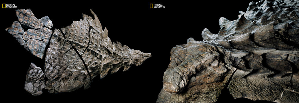 Canadian Nodosaur with fossilized skin!