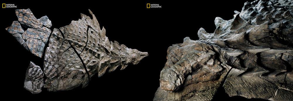 Canadian Nodosaur with fossilized skin!