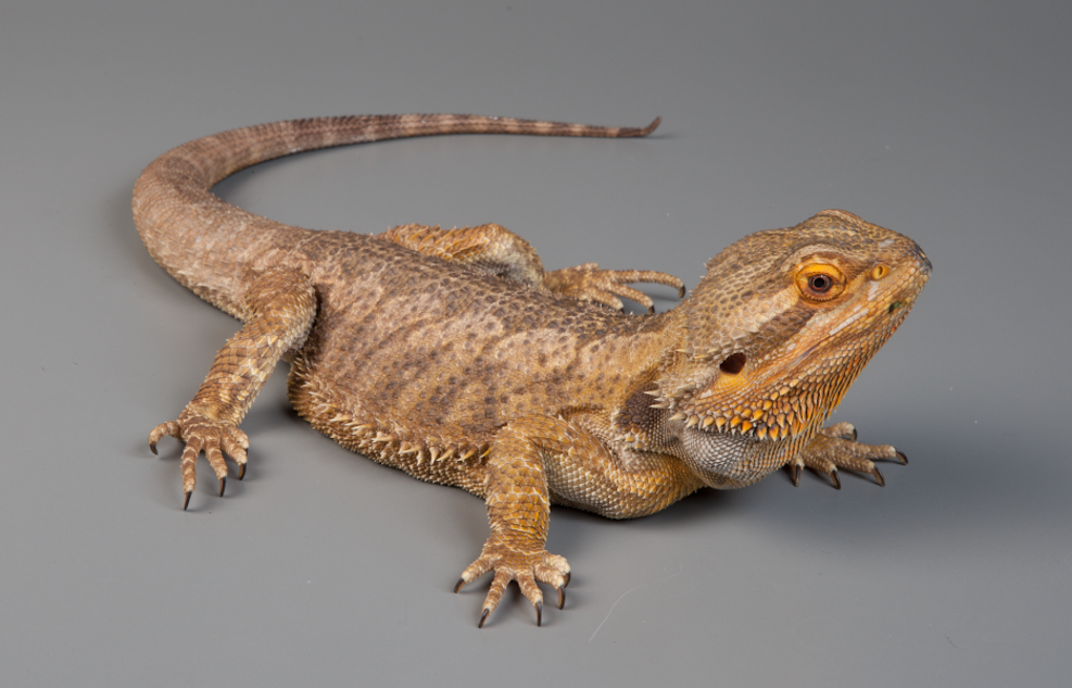 Do you see any similarities between the skin of the Nodosaur and this Bearded Dragon?
