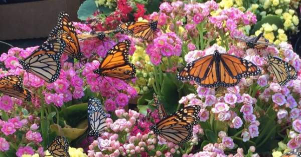 Butterflies Are Attracted To Plants With Colorful Flowers. A Butterfly  Garden Should Have Plants That Provide Food For Caterpillars, Nectar For  Adult ...