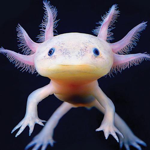 axolotl.png