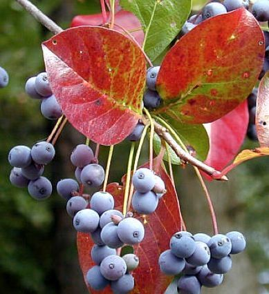 Tupelo berries and fall color