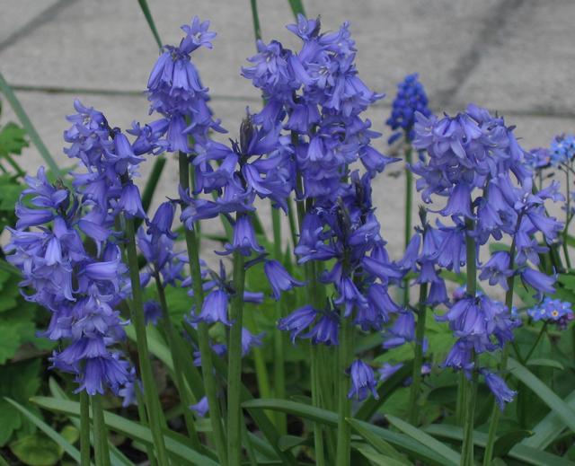 Hyacinthoides_hybrid_DP9.jpg