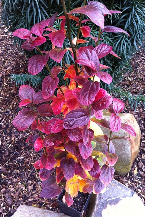 Fall color after almost all other leaves have dropped