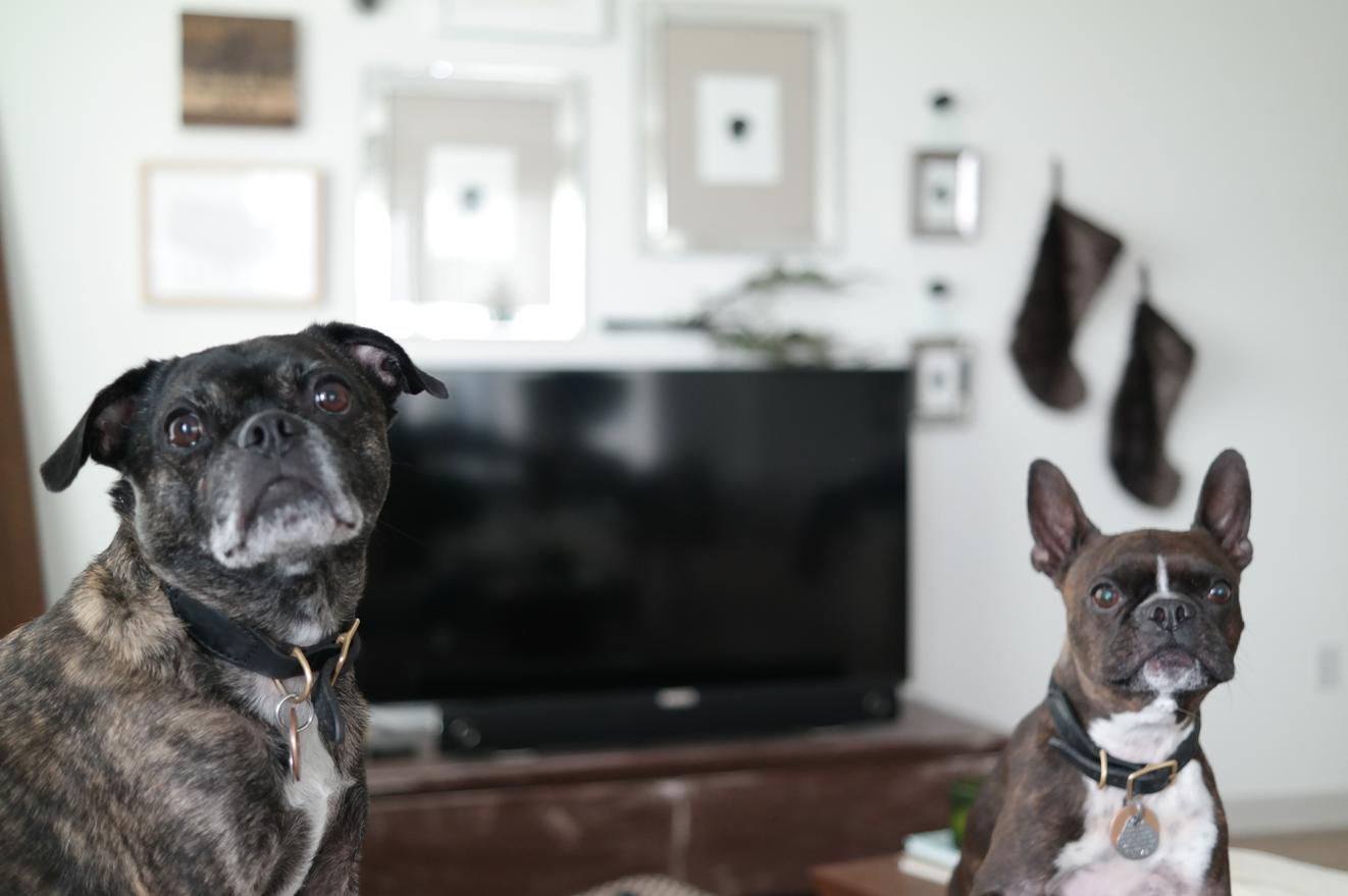 cute-boston-terriers