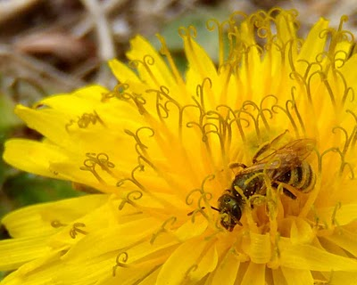 dandelion-flower-with-bee-butterpoweredbike.jpeg