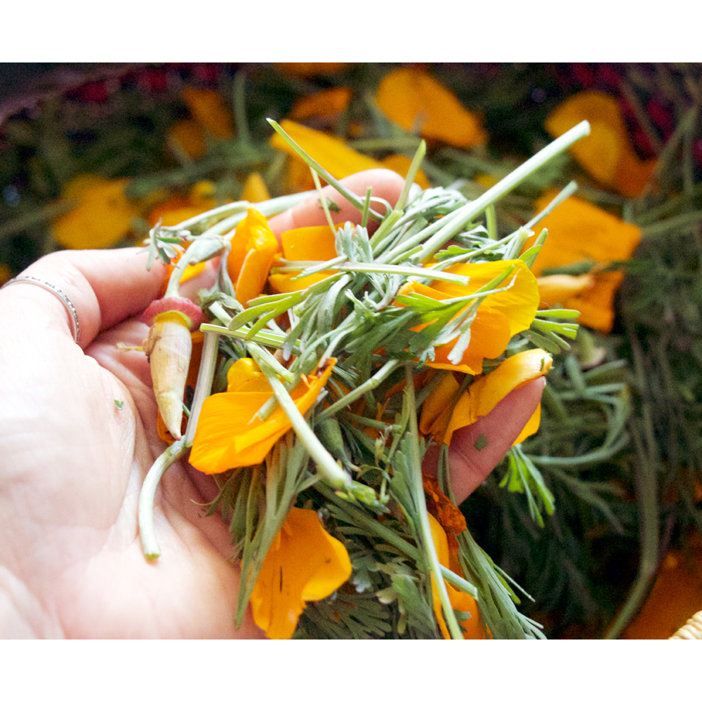 Eschscholzia californica // California Poppy