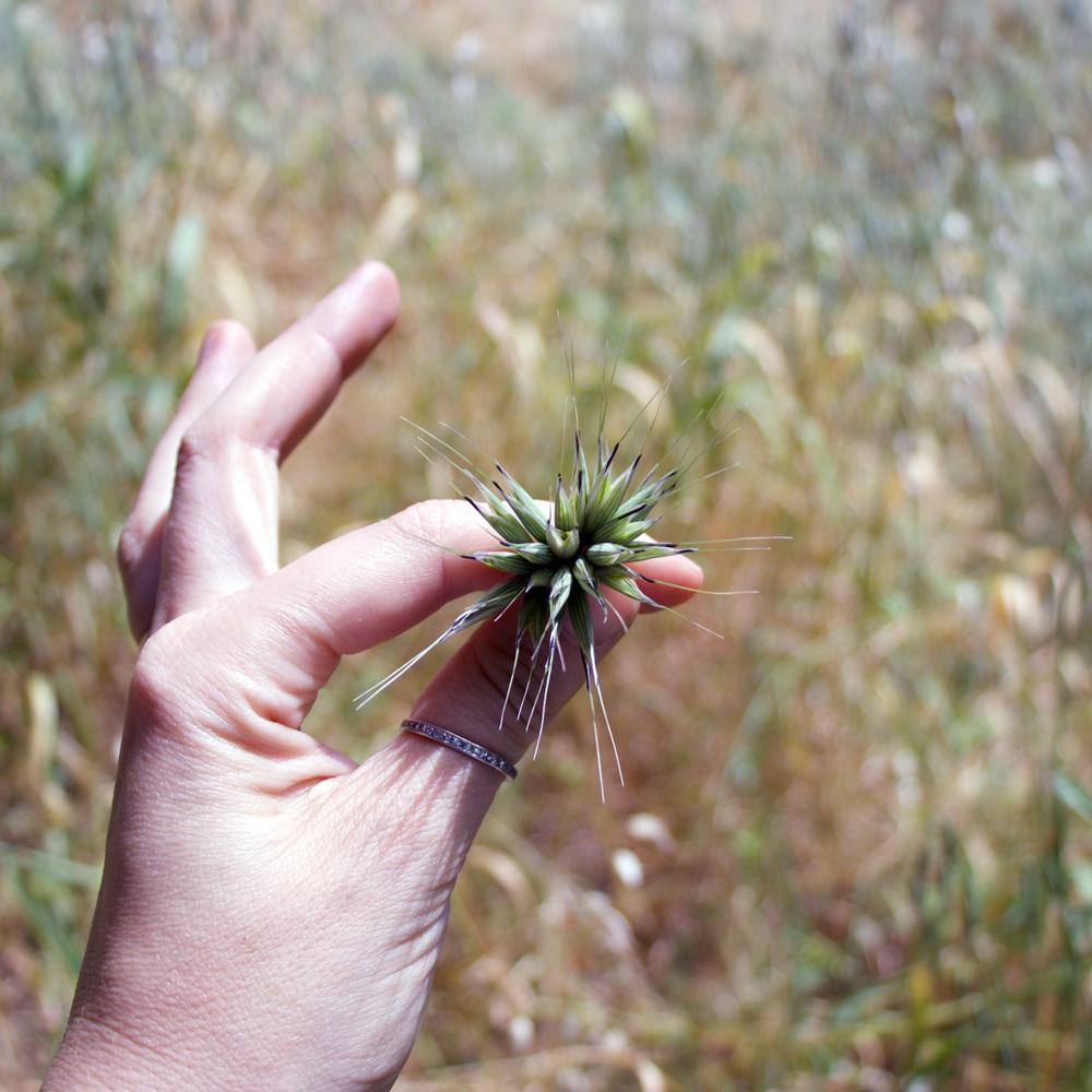 Avena spp. // Milky oat seed