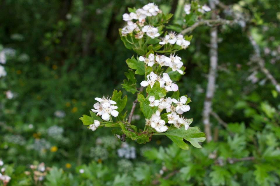 crategus flower scotland.jpg