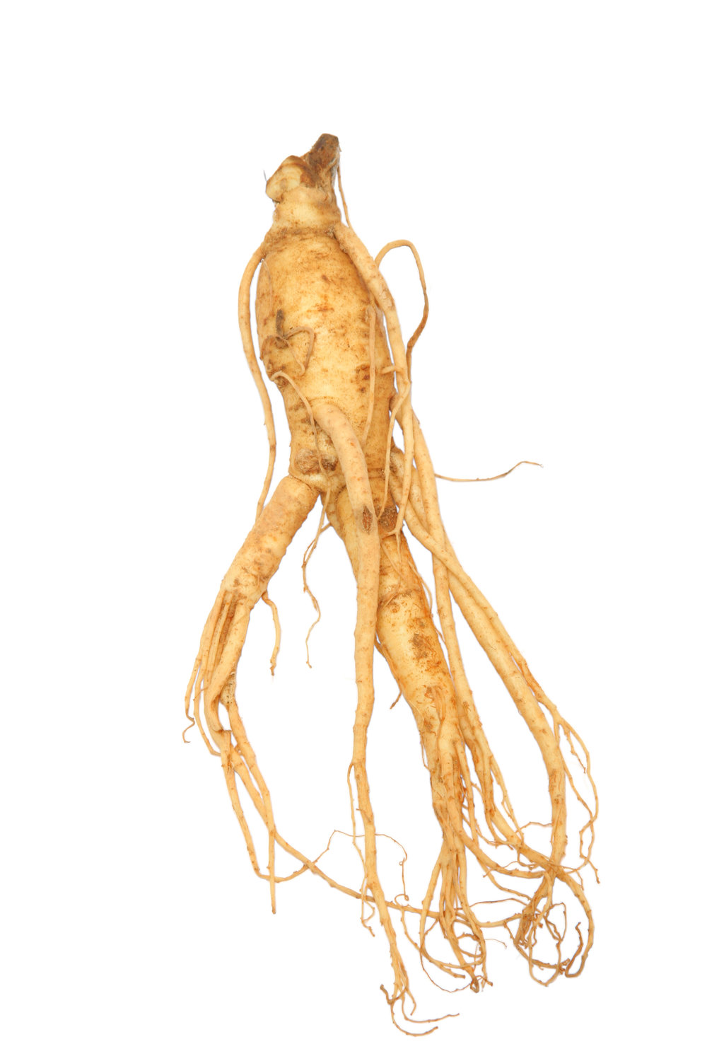 A healthy and properly matured Ginseng root.