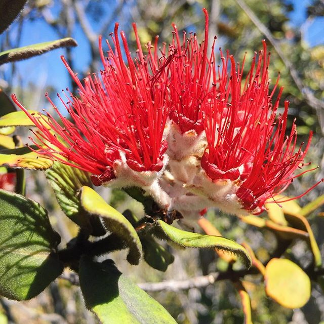Who hasn't stopped to marvel at the Ohia Lehua blossom? I often wonder what bees think about this flower, it turns out that bees have a hard time seeing the color red as humans see red.  Interestingly enough some flowers produce what's known as nectar guides that are only visible to pollinators with ultra-violet sensors (bee see ultra-violet light!). Anyway, bees make the most delicious creamy honey from the Lehua blossom that we ❤️ so much!!! The flavor is to die for sweet, creamy and buttery, can you taste it? • • • • • • • #lehua #hawaiianhoney #cbdhoney #creamyhoney #rawsweets #hawaiianlegend #ohia #saveohiatrees #pollinator #hawaiianforest #indegenous #nativehawaiianplants #plantnatives