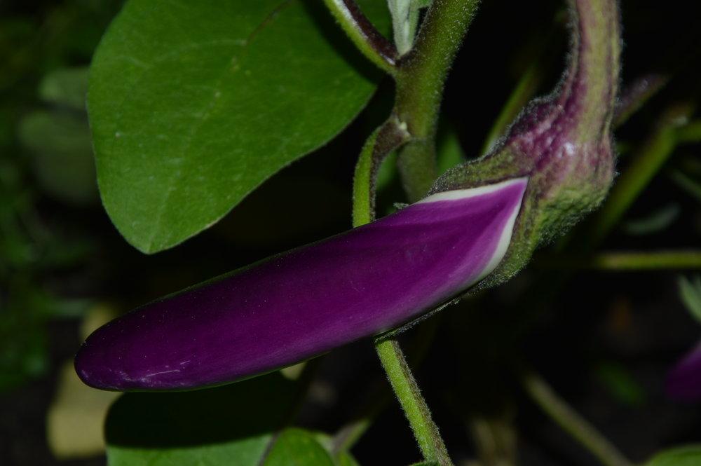 Aubergine / Eggplant Dark Long Red