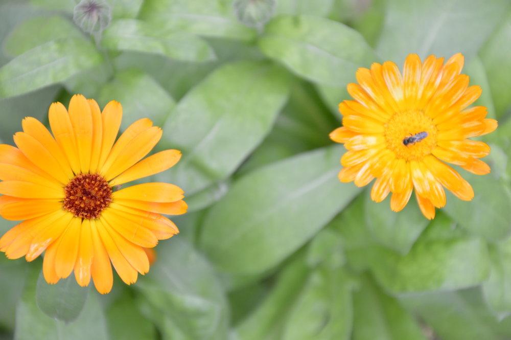 Fleurs de calendule et pollinisateur - Semencière Terre Promise. Cultivés en permaculture.
