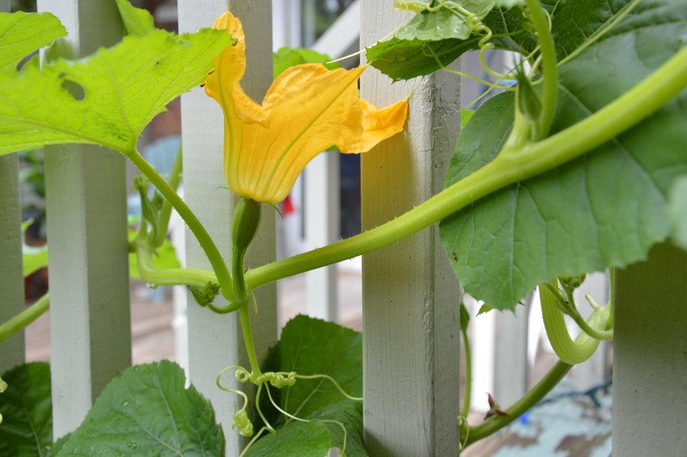 Fleur femelle de courge butternut et courge naissante - Semencière ancestrale Terre Promise, cultivateur en permaculture
