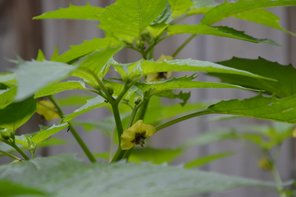 Fleurs de tomatillos - Semencière ancestrale Terre Promise, cultivés en permaculture