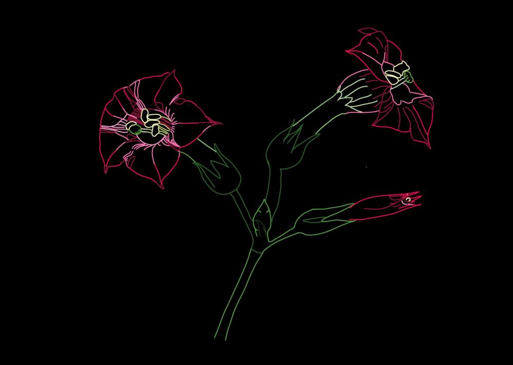 Fleurs de Tabac-01.png