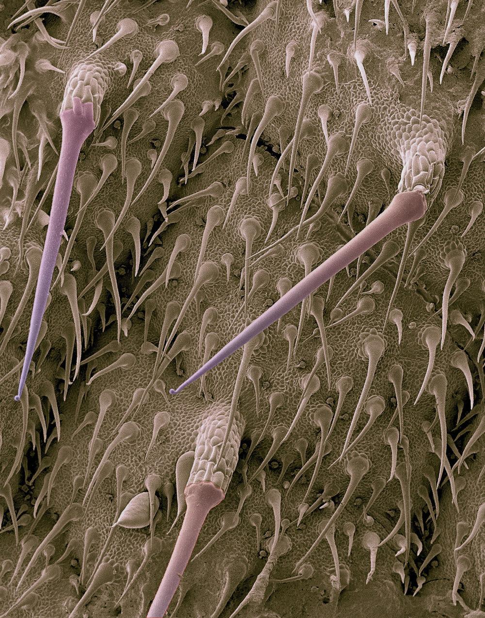 Genetically engineered Nettle; outside Cincinnati; E00032