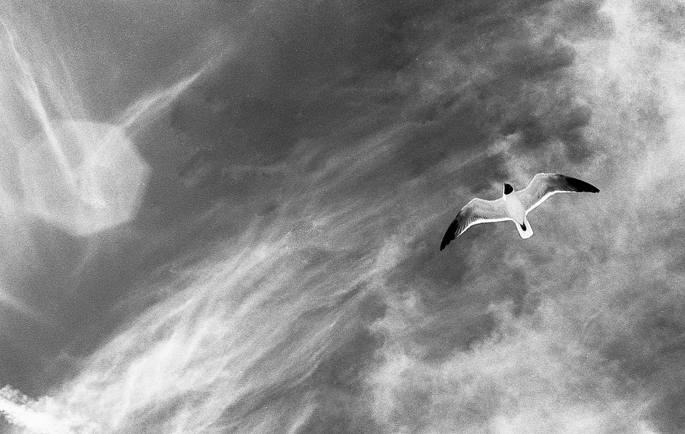 A seagull flies over the Shackleford Banks in NC. Summer 2017. (Ilford SFX 200)