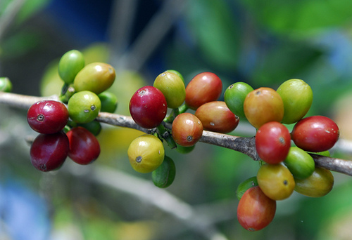 Coffee Cherry Pic.jpg