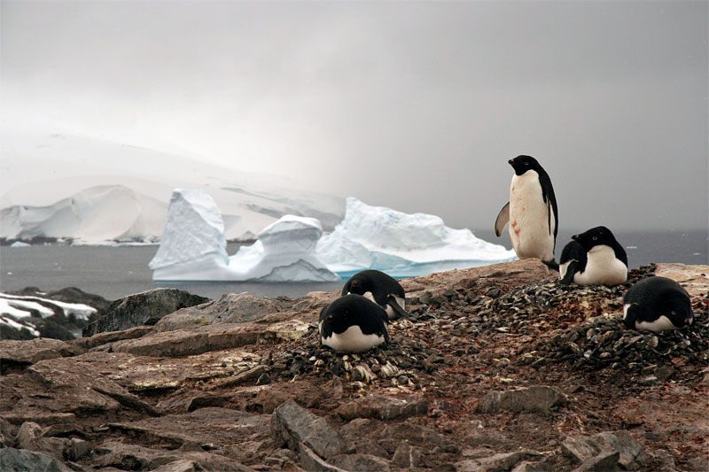 Adelie Penguins. Photo_ Colin Mitchell