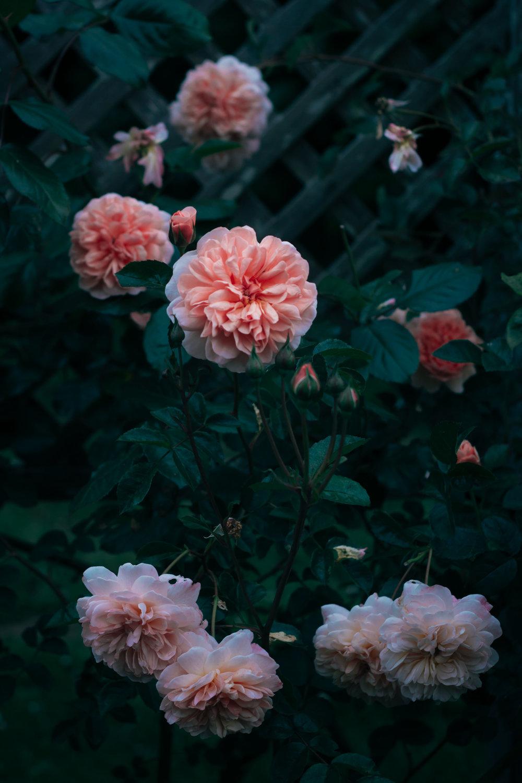 rhubarb and roses 4286 (1 of 1).jpg