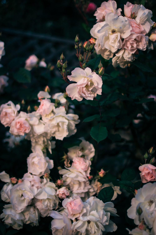 rhubarb and roses 4384 (1 of 1).jpg
