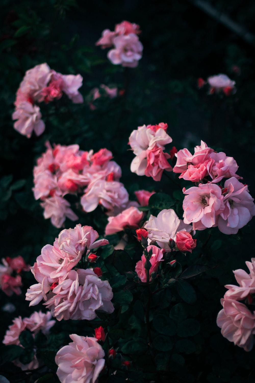 rhubarb and roses 4408 (1 of 1).jpg